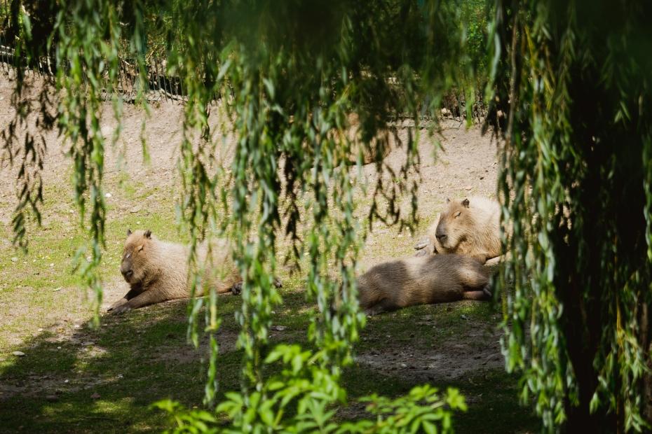kapibara gdańsk